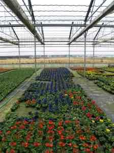 Rows of Primroses at Watson's Nursery